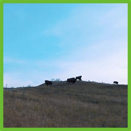 Buffalo - Buffalo Pound - Epic Trip Adventures